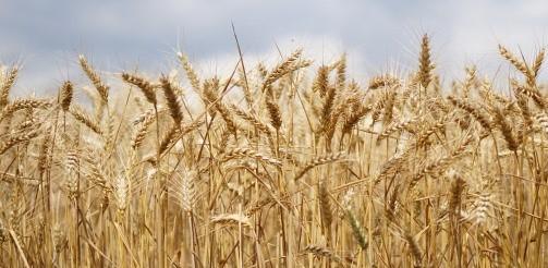 Podnoszenie produktywności rolnej przez SMSy i wiadomości głosowe